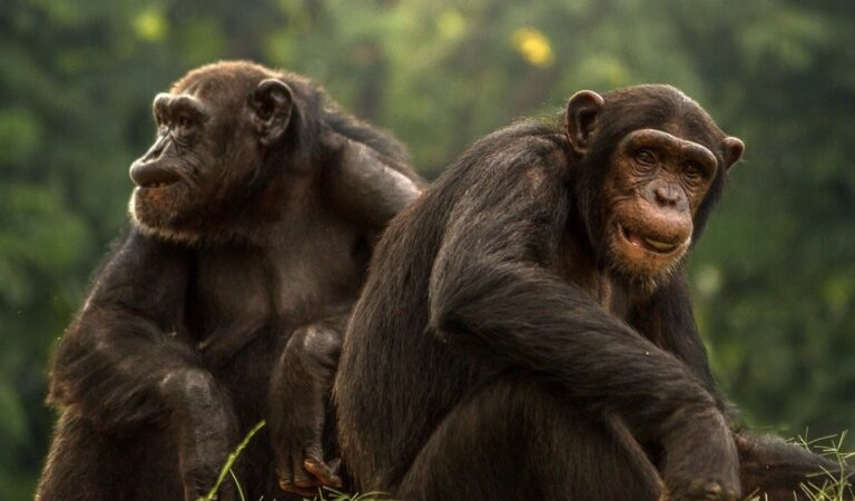 Twee chimpansees uit DierenPark Amersfoort doodgeschoten
